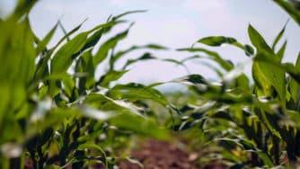 Corn Cover Photo 2