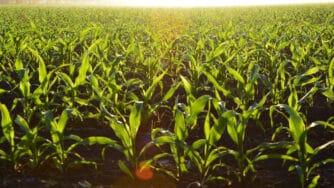 Corn 1245