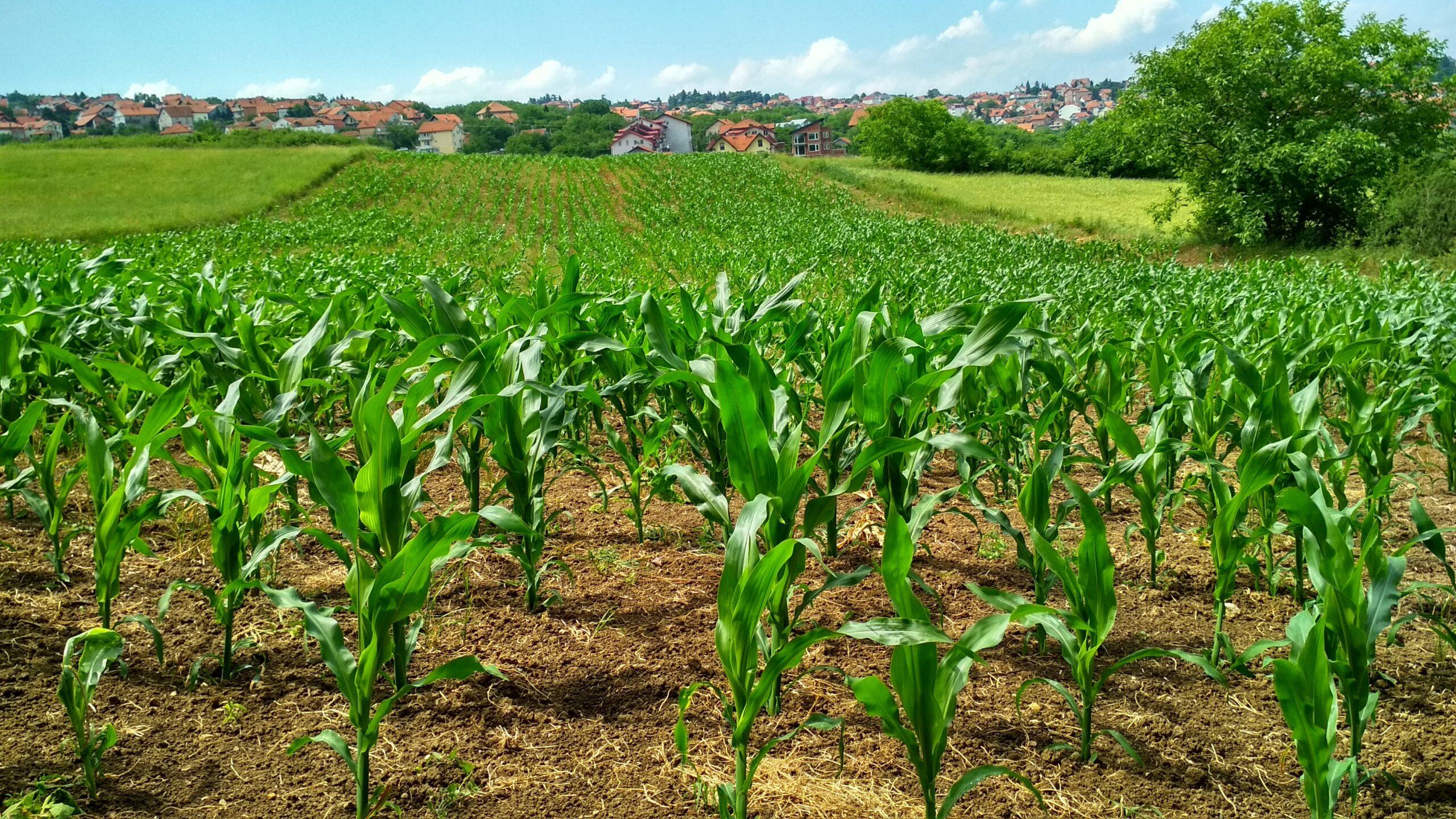 corn plant on field 1112080