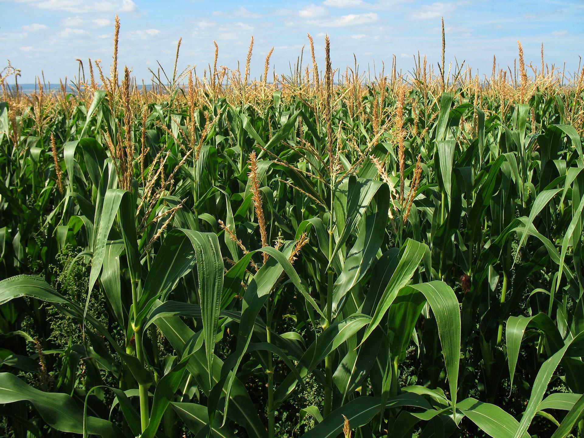 corn field 1935 1920