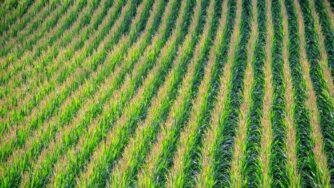 cornfield 902877 1920