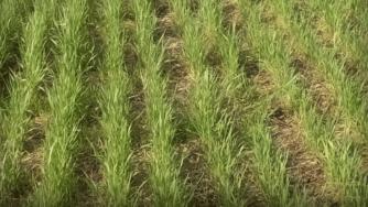 Grass species Cereal rye