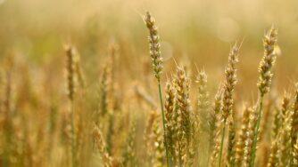 wheat 5560987 1920
