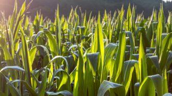 cornfield 4422087 1920