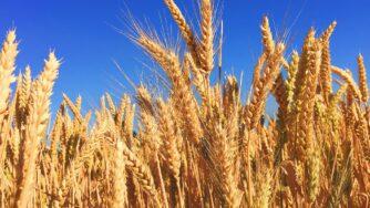 wheat 863392 1920