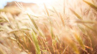 wheat 865098 1920