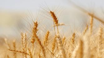 Blog CardImg Wheat