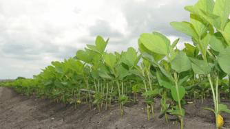 Blog CardImg soybeans