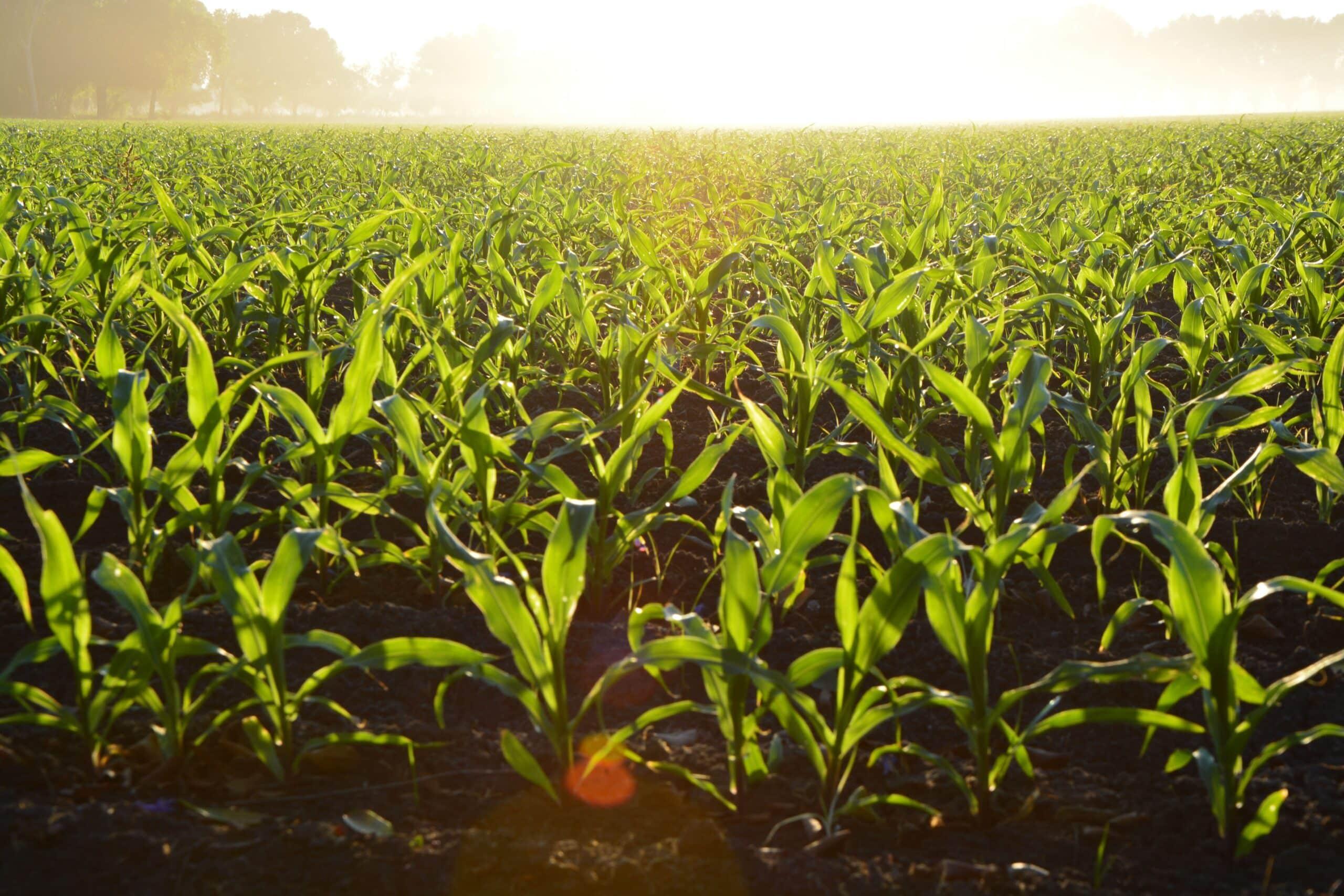 corn field wide